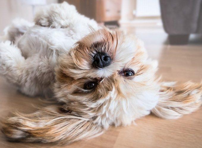 Když psa, tak plemeno, které nepouští chlupy. Jenže jaké to dokáže?